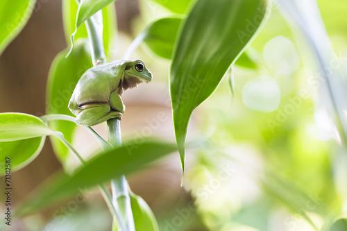 Poster Kikker Australian Green Tree Frog