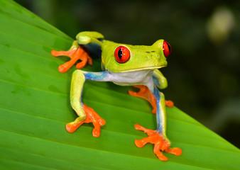 red eye tree frog green leaf, cahuita, costa rica