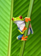 canvas print picture - red eyed tree frog, cahuita, puerto viejo, costa rica
