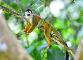 central american squirrel monkey in tree,costa rica