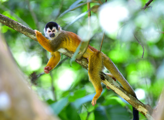 squirrel monkey relaxing on tree branch, costa rica