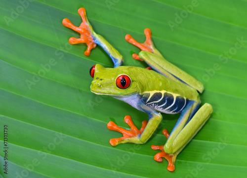 Fotobehang Centraal-Amerika Landen red eye tree frog on green leaf, cahuita, costa rica