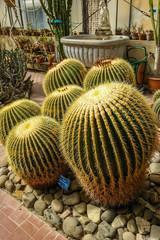 Fass Kaktus in Sizilien