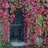 Fototapety Old wooden door overgrown with ivy
