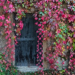 Old wooden door overgrown with ivy