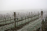 Vineyard on a cold foggy winter's day