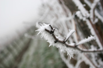 Grapes on frozen vineyard