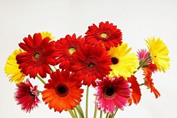 Beautiful color gerbera flowers