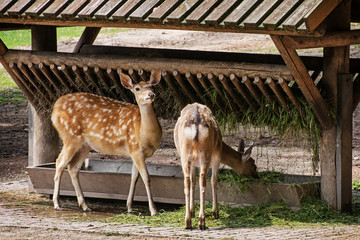 Two fallow deer and feeder