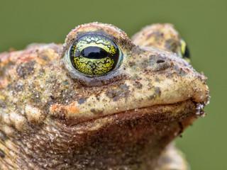 Epidalea calamita, Natterjack Toad potrait