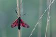 Six-spot Burnet (Zygaena filipendulae) Moth on Green Background