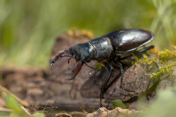 Stag Beetle (Lucanus cervus) Walking over a Log on the Forest Fl