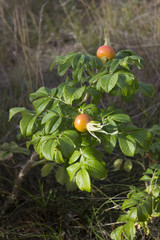 Rosehips fruits in the dunes.