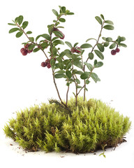 Cowberry on the moss