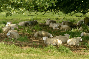 sheep rest in shade at Abbey park , Lacock