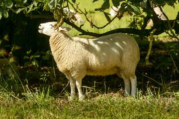 sheep at Abbey park , Lacock