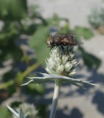 Fly on a beach flower