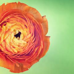 One ranunculus flower on vintage background
