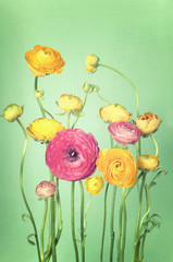 Flower arrangement of colorful ranunculus vintage background