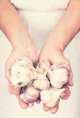 Elderly hands holding organic fresh garlic with retro style