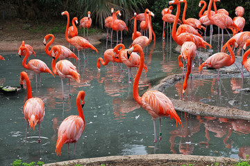 A flock of Flamingo's in their natural habitat