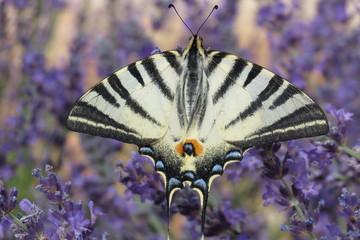 Papillon nuit rayé