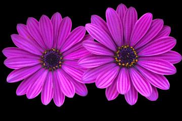 Asteraceae, Osteospermum,purple daisies on black background