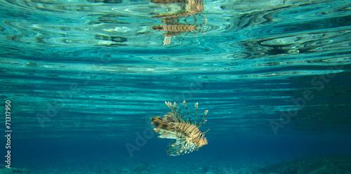 Staande foto Leeuw Lion fish