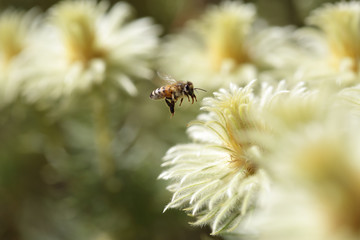 Bee and Phylica pubescens featherhead