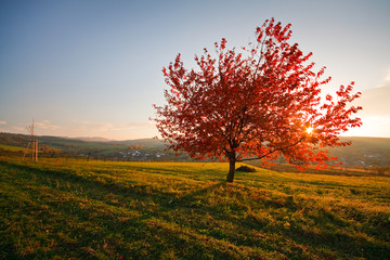 Autumn cherry tree in Czech countryside.