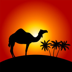 Silhouette of camel on the sunset background