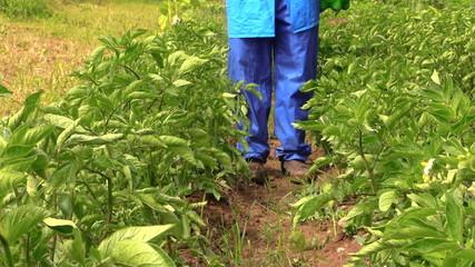 Villager farmer man in blue pants spray potato plants beds
