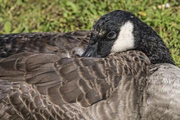 Canadian Goose Resting