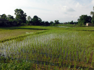 Flat Rice Fields in Chitwan, South Nepal