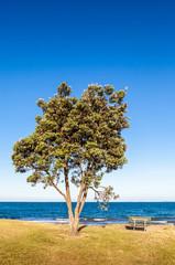 Pohutukawa tree (Metrosideros excelsa), a coastal evergreen tree