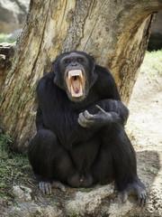 chimpanzee teeth bared