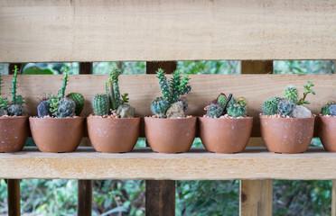 many Cactus in pot