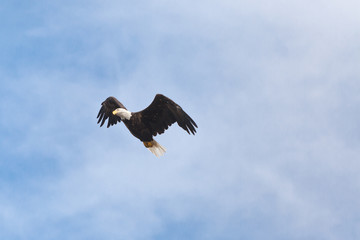 bald eagle blue sky