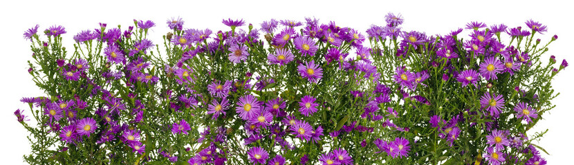 Violet chrysanthemums isolated line