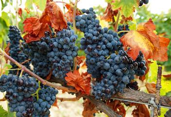 Blaue Trauben mit Weinlaub