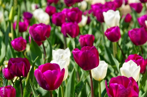 canvas print picture Tulpen lila und weiss - tulips purple and white 01