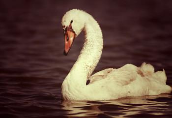 Beautiful swan in the lake