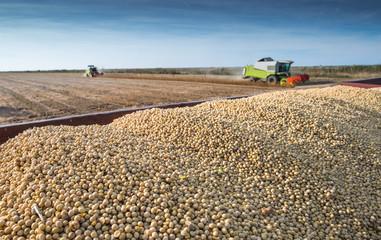 Harvesting of soy bean