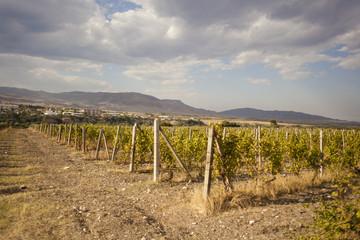 Vineyard in Askeran, Nagorno Karabakh