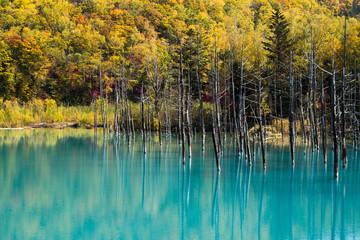 美瑛町青い池と紅葉