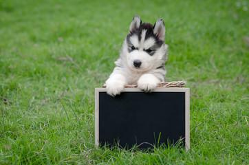 Cute siberian husky puppy holding black board
