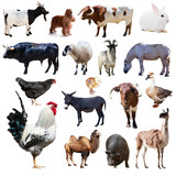 Set of rooster and other farm animals. Isolated over white