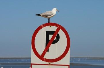 Parken verboten- Hartlaubmöwe (Laurus hartlaubii)