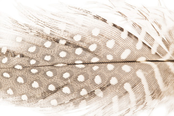 Quill feather close up