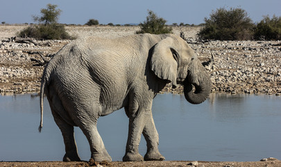 Drinking Elephant at Okaukuejo Waterhole, Etosha, Namibia
